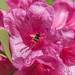 Néctar de rododentro