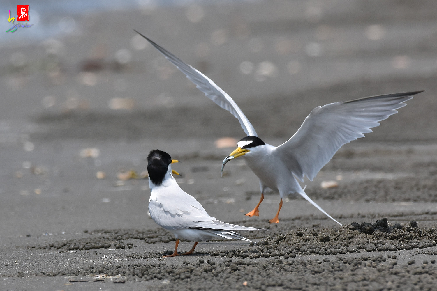Little_Tern_4923