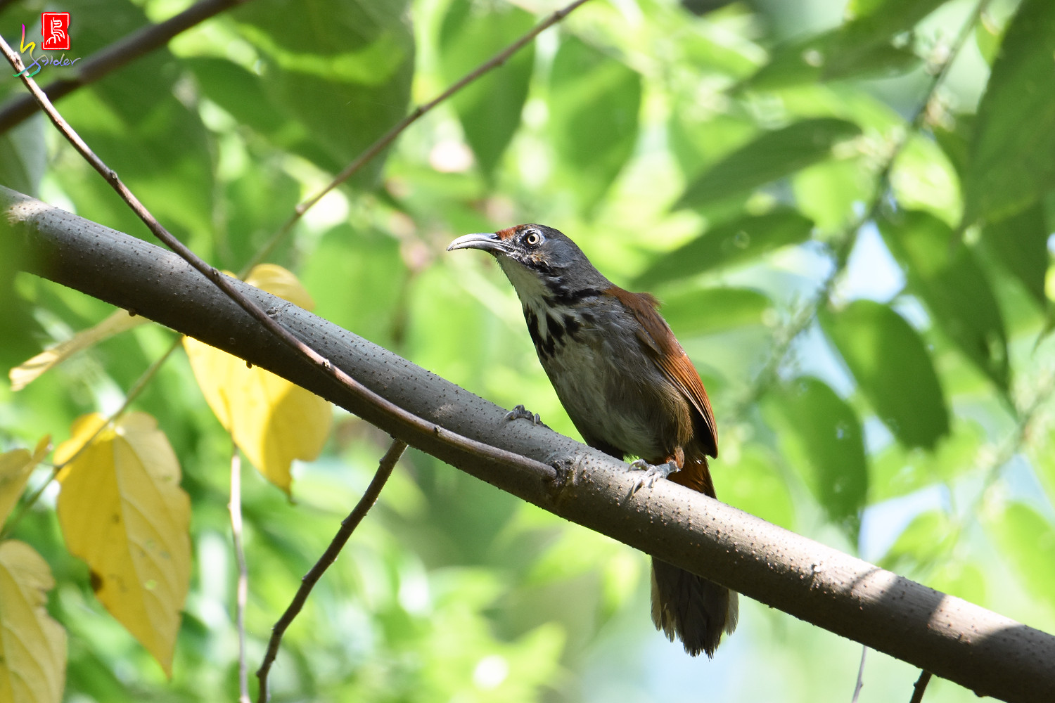 Rusty-cheeked_Scimitar_Babbler_8147