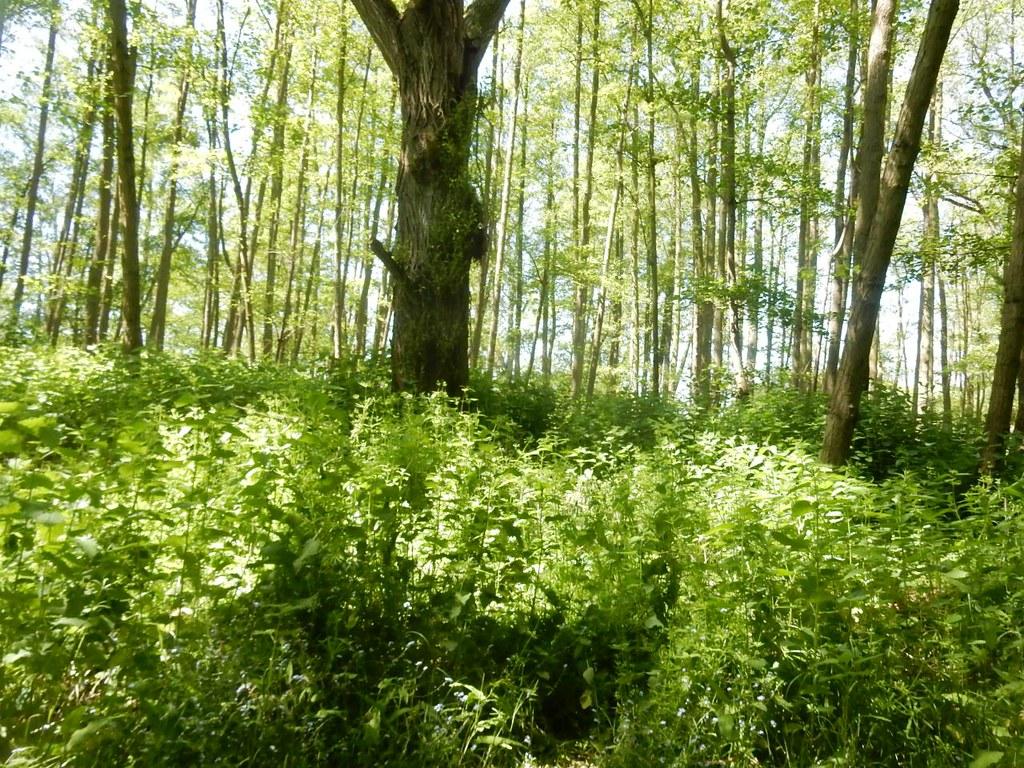Nettles 'n' trees Roydon to Sawbridgeworth