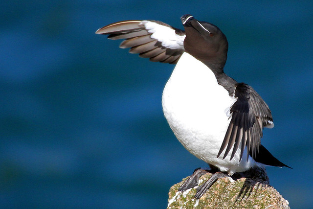 Razorbill in a flap