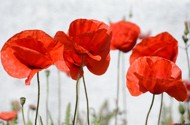 The beauty of Poppies