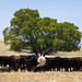 Cows attempting to shelter from the summer sun, under a lonely tree