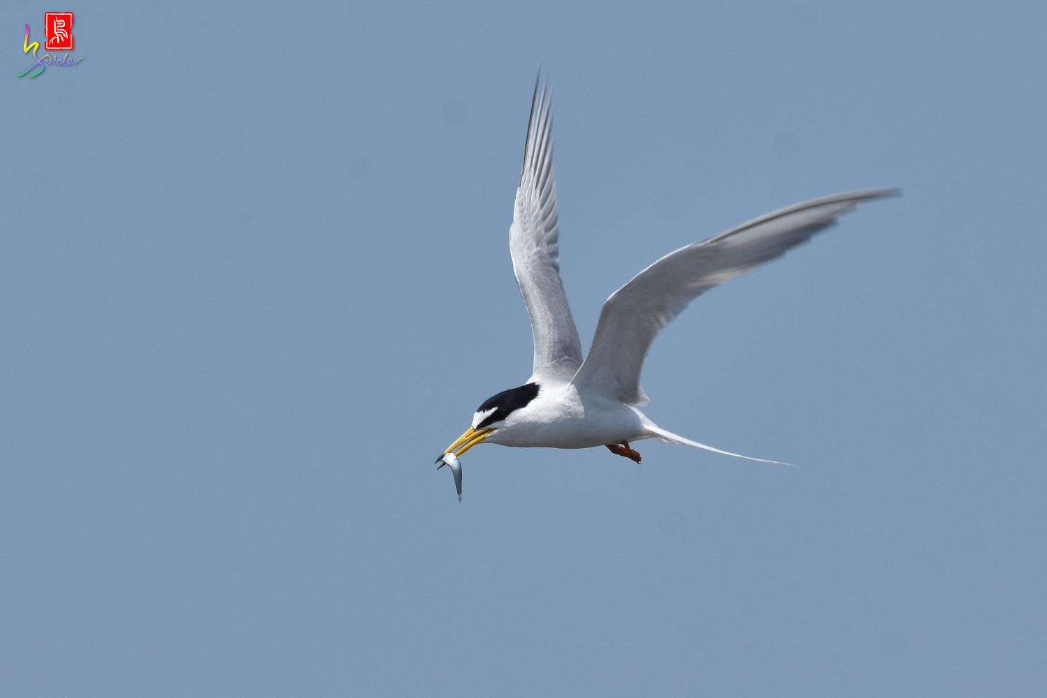 Little_Tern_8851