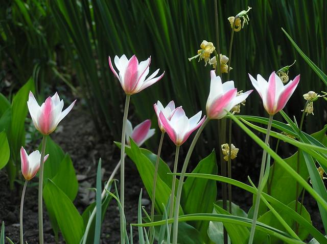 Tulipa clusiana 'Pepperment Stick'