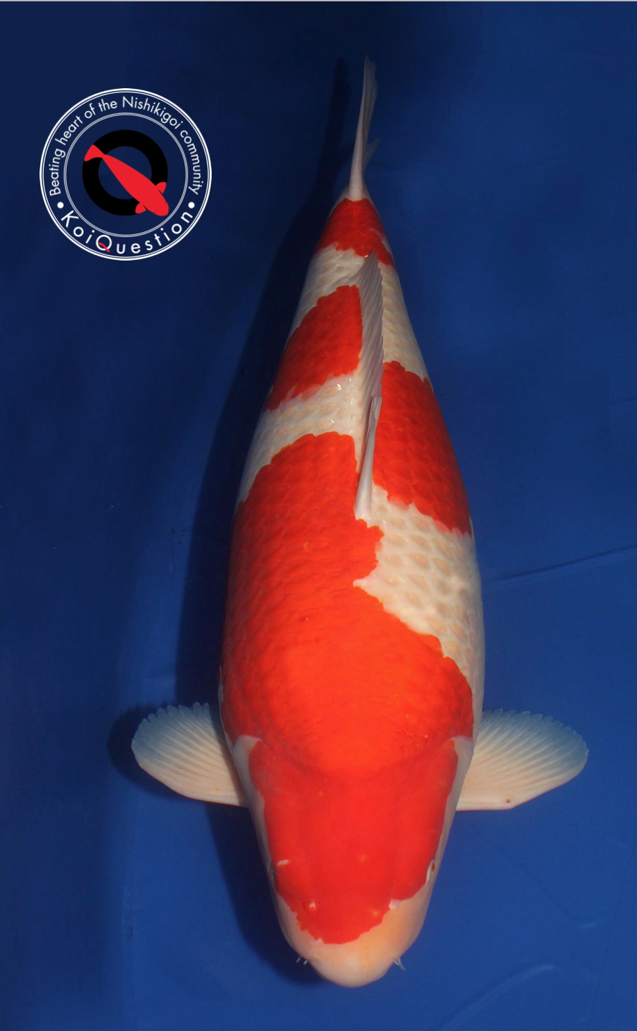 Shining Rose Kohaku Jumbo Champion A Interkoi Kalkar 2018