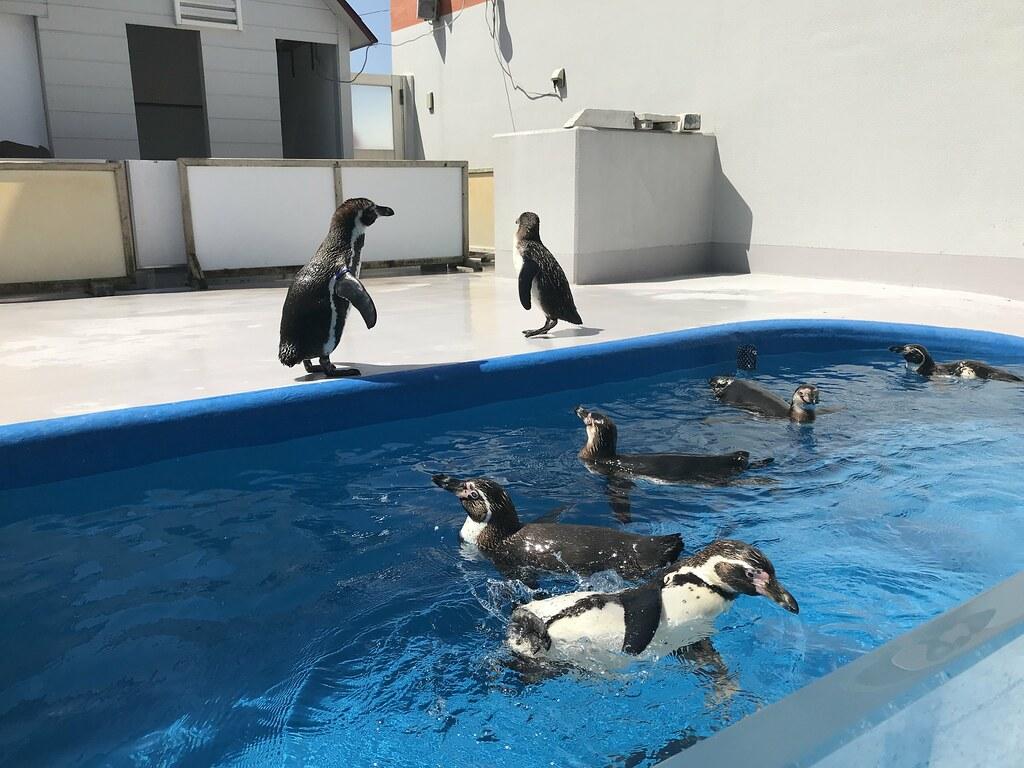飼育員の餌につられて右往左往していたペンギンたち