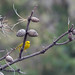 Yellow Warbler by U.S. Fish and Wildlife Service - Midwest Region