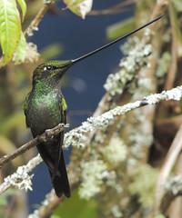 Sword-billed Hummingbird (Ensifera ensifera)