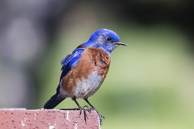 Male Eastern Bluebird.