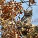 Screech owl by ricmcarthur