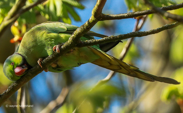 Lazy Ring necked parakeet (wild)