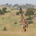 Gorgeous Giraffe by Hector16