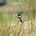 Aves en las lagunas de La Guardia (Toledo). 28-04-2018