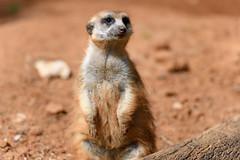Attentive Meerkat