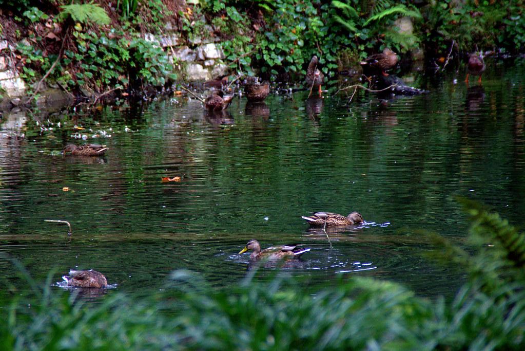 patos en un lago esmeralda