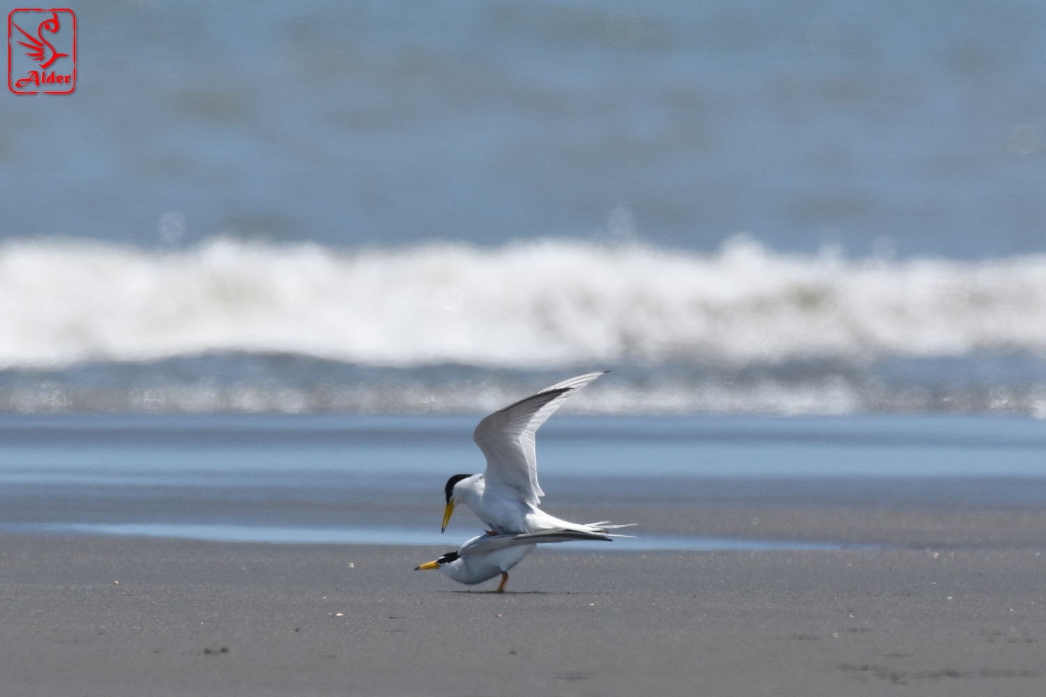 Little_Tern_7733