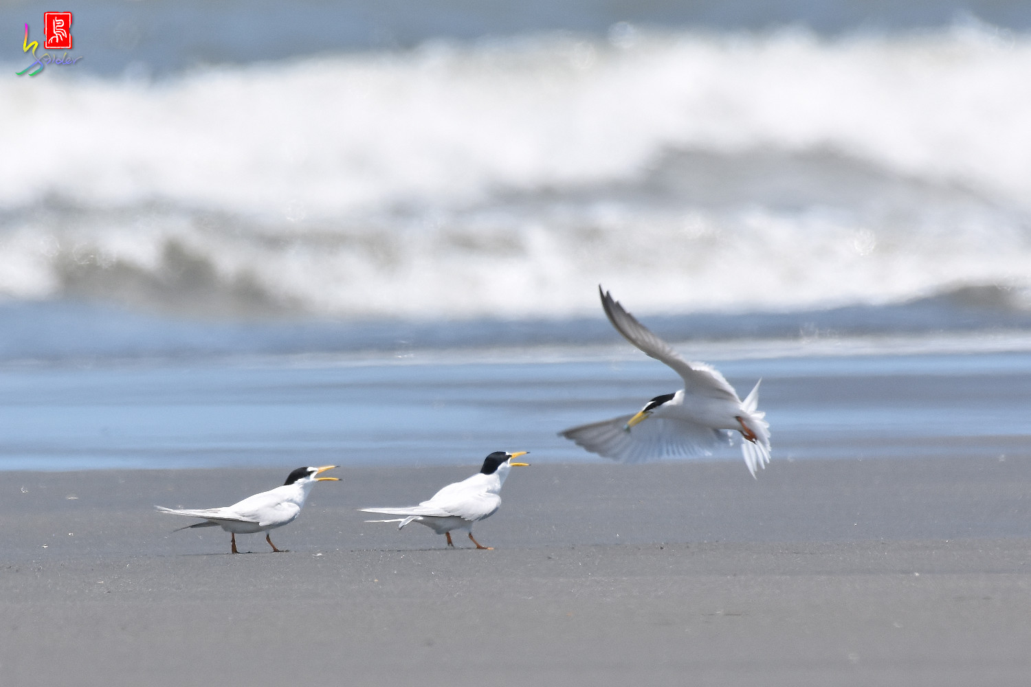 Little_Tern_7512