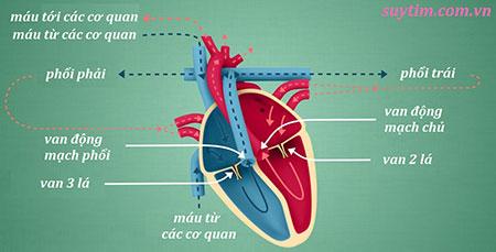 Sơ đồ 4 loại van tim và vị trí của chúng
