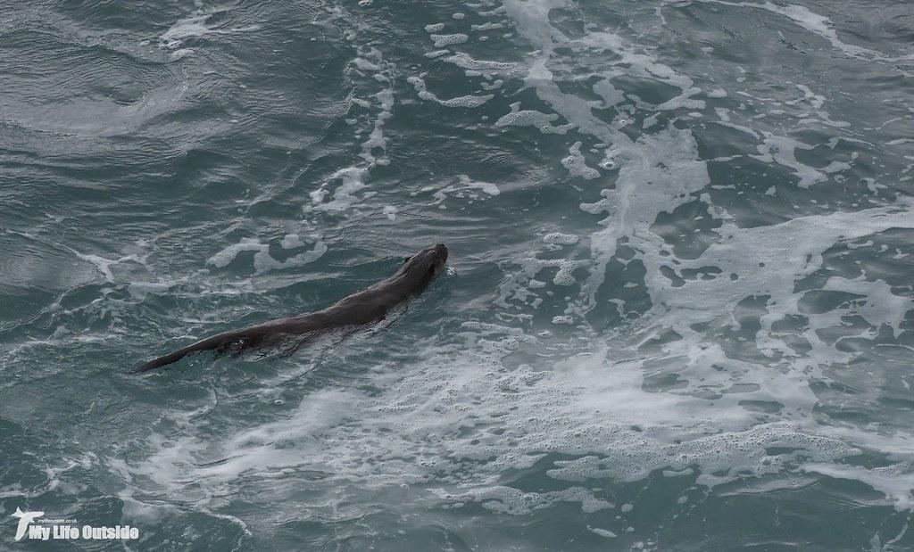 P1140233 - Otter, Isle of Mull