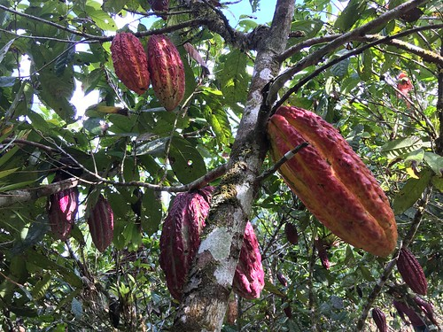 Cacao, PermaTree, Ecuador