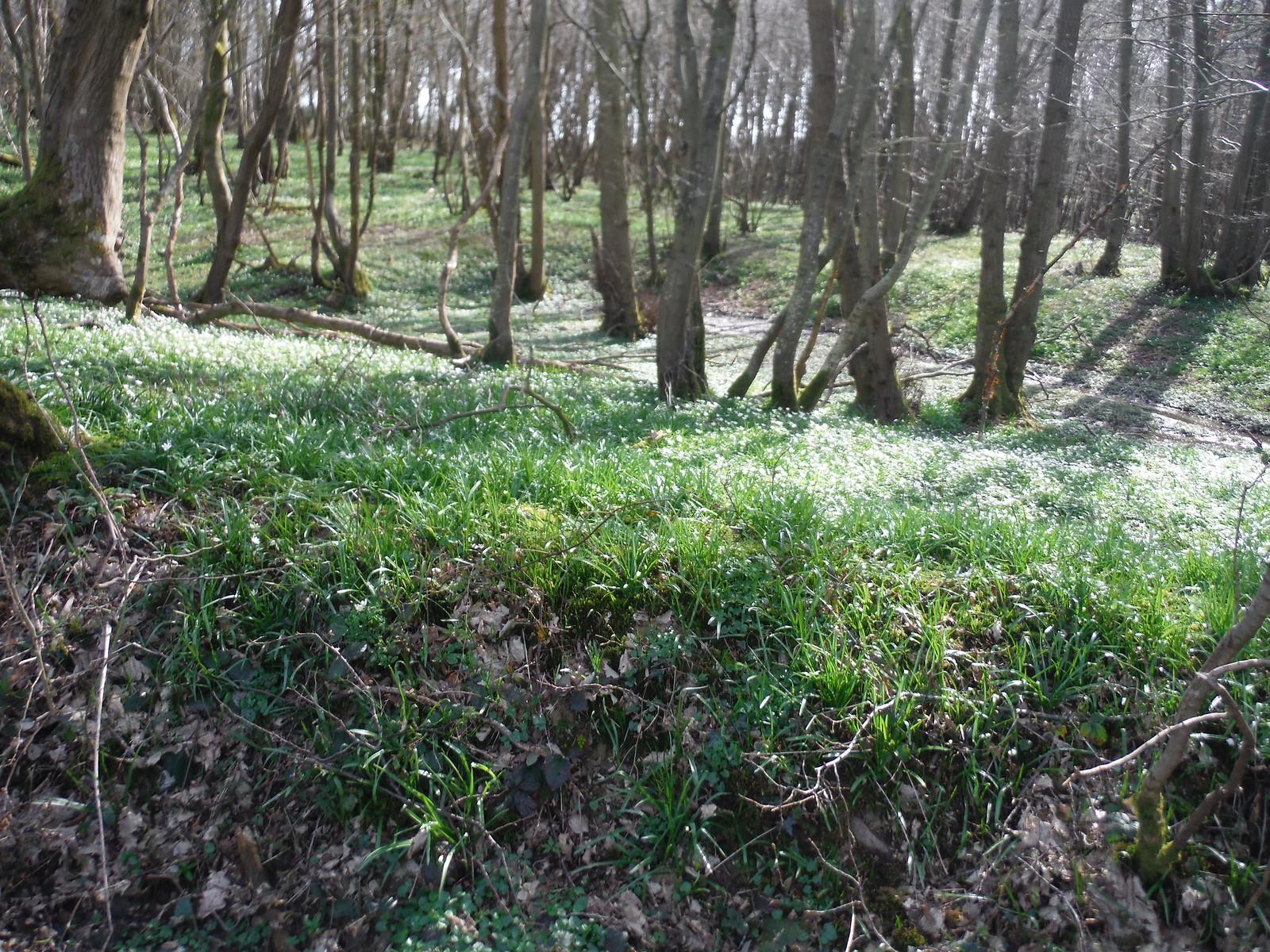 Wood Anemones in Sandpits Wood, Horsted Keynes SWC Walk 27 - East Grinstead to Wivelsfield or Sheffield Park