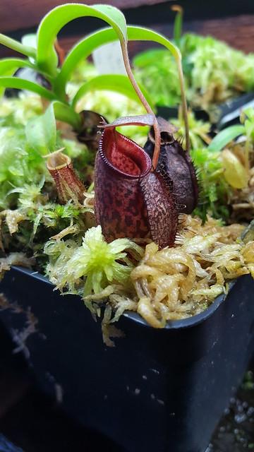 N. Aristolochoides x Singalana(1)