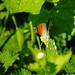 Orange tip butterflies, mating