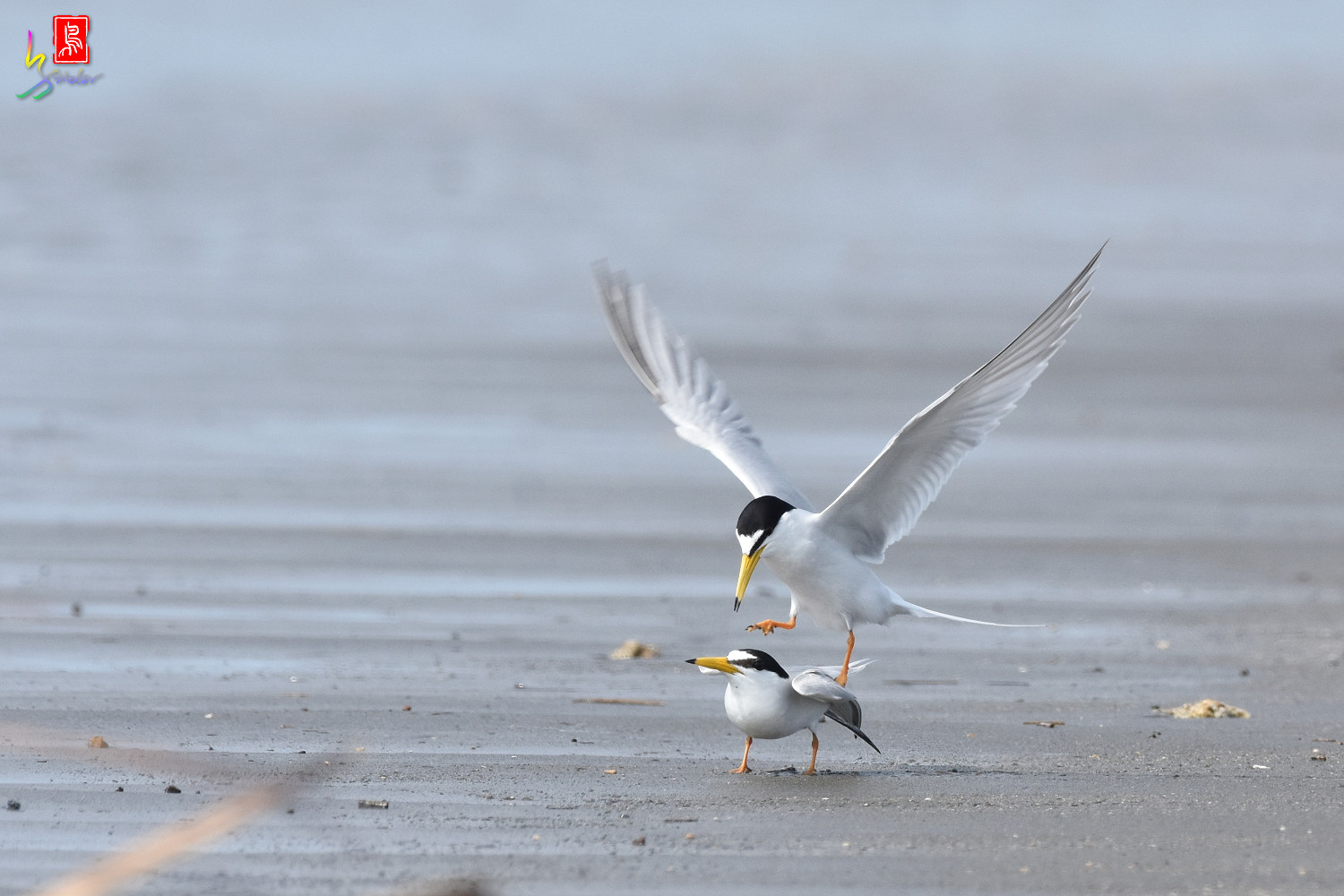 Little_Tern_4406