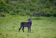Водяной козел Дефасса, Kobus ellipsiprymnus defassa, Defassa Waterbuck