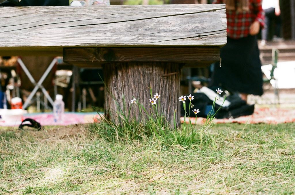 Sisyrinchium under the bench