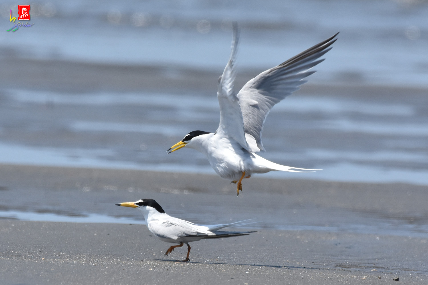 Little_Tern_8626