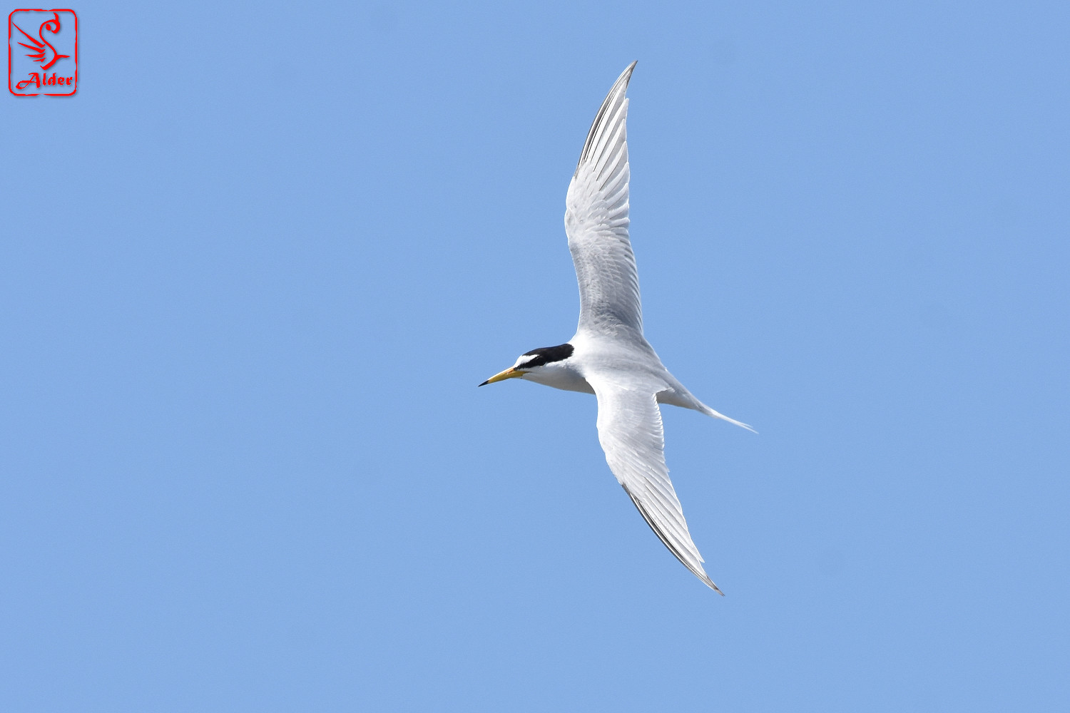 Little_Tern_8249
