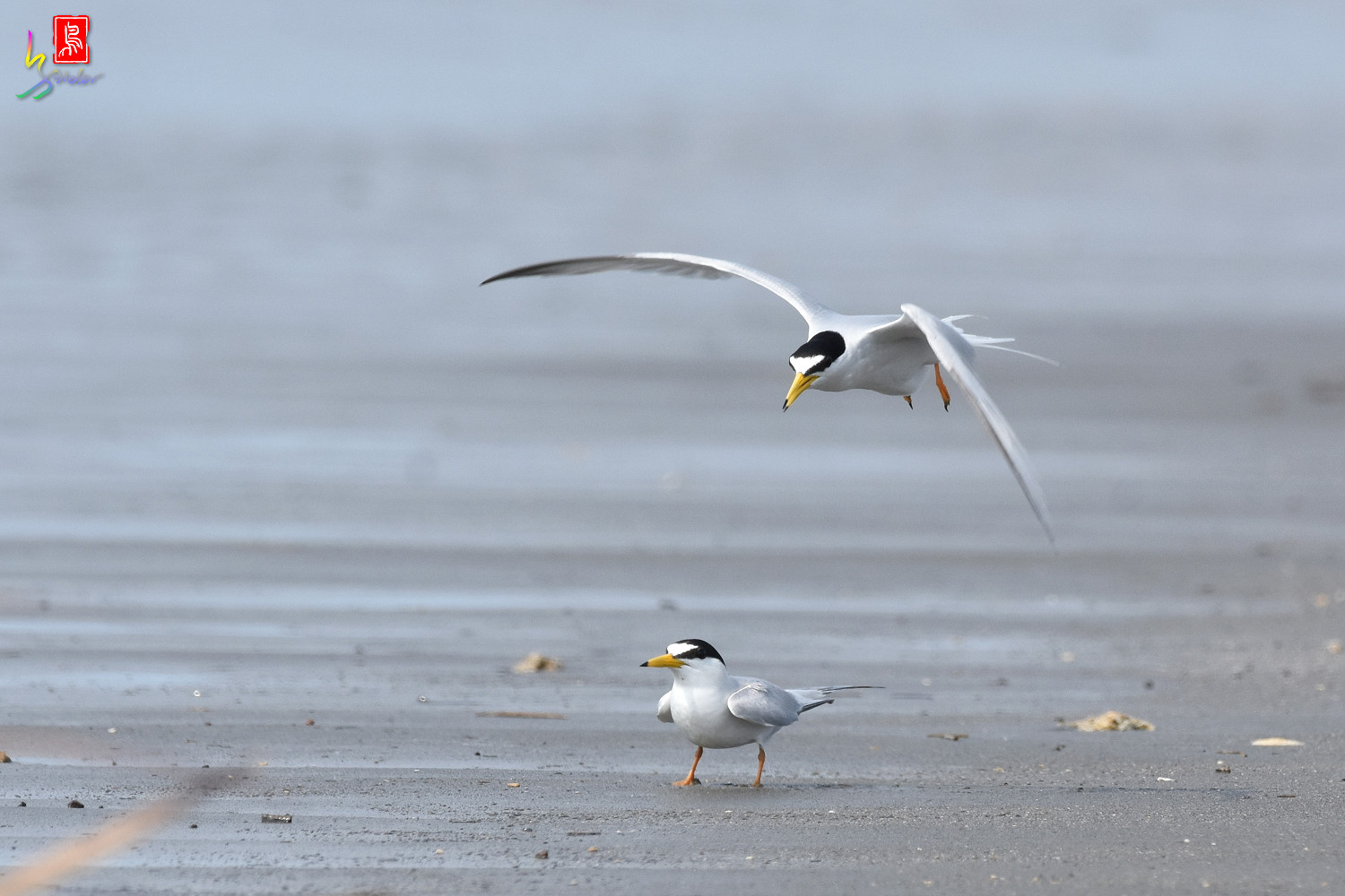 Little_Tern_4357