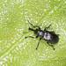 Leaf-roller Weevil - Temnocerus nanus