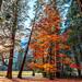 California Fall Colors!  Yosemite NP Red Sugar Maple Peak Fall Colors! Yosemite National Park Autumn Leaves Fine Art Landscape Photography! High Res Nikon D810 Elliot McGucken Fine Art Nature Photography! by 45SURF Hero's Odyssey Mythology Landscapes & Godde