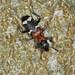 Ant Beetle - Thanasimus formicarius