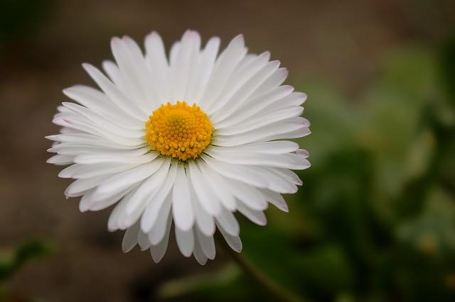 The Daisy....
