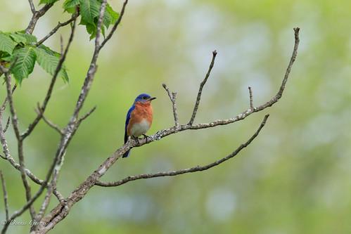 meadowlark virginia bird bluebird sunrise wildlife vienna unitedstates us