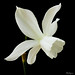 White Daffodil - Jonquille blanche