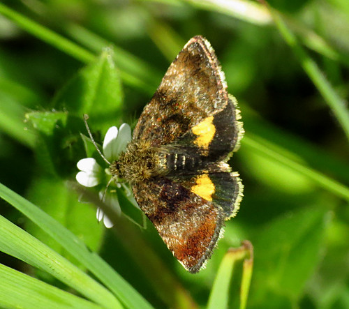 Small Yellow Underwing Panemeria tenebrata Tophill Low NR, East Yorkshire May 2018