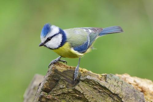 barnwellcountrypark northamptonshire wild wildlife nature bluetit woodland bird cyanistescaeruleus