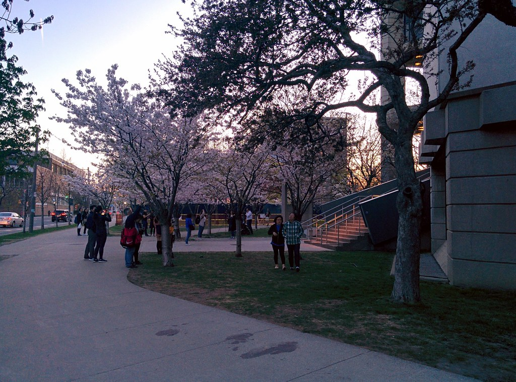 Sakura of Robarts in twilight (2) #toronto #sakura #cherryblossom #universityoftoronto #robartslibrary #harbordstreet #latergram