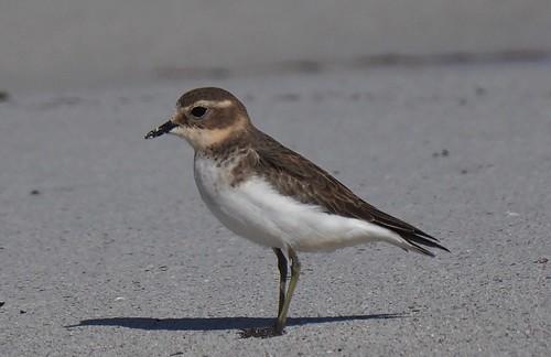 Shorebirds - Plover - Double-banded (Charadrius bicinctus)