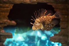 Pterois volitans or Lionfish