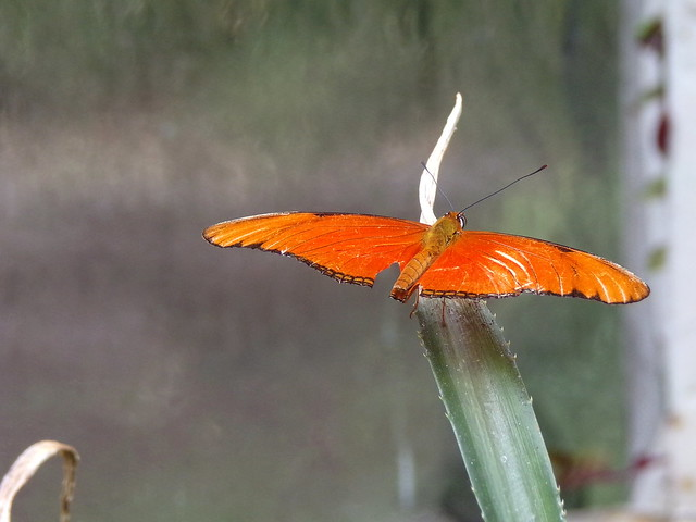 HortusButterflies9