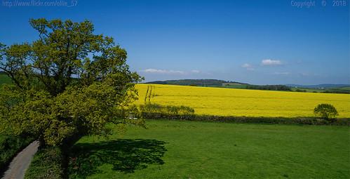 landscape view vista fields lane road sky trees shadow hbm scenery crops rapeseed spring may 2018 mamhead devon england uk westcountry phantom4pro djifc6310 affinityphoto ollie57