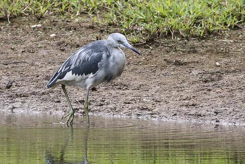 Little Blue Heron - juvenile