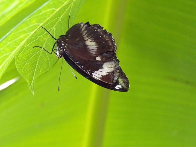 HortusButterflies7