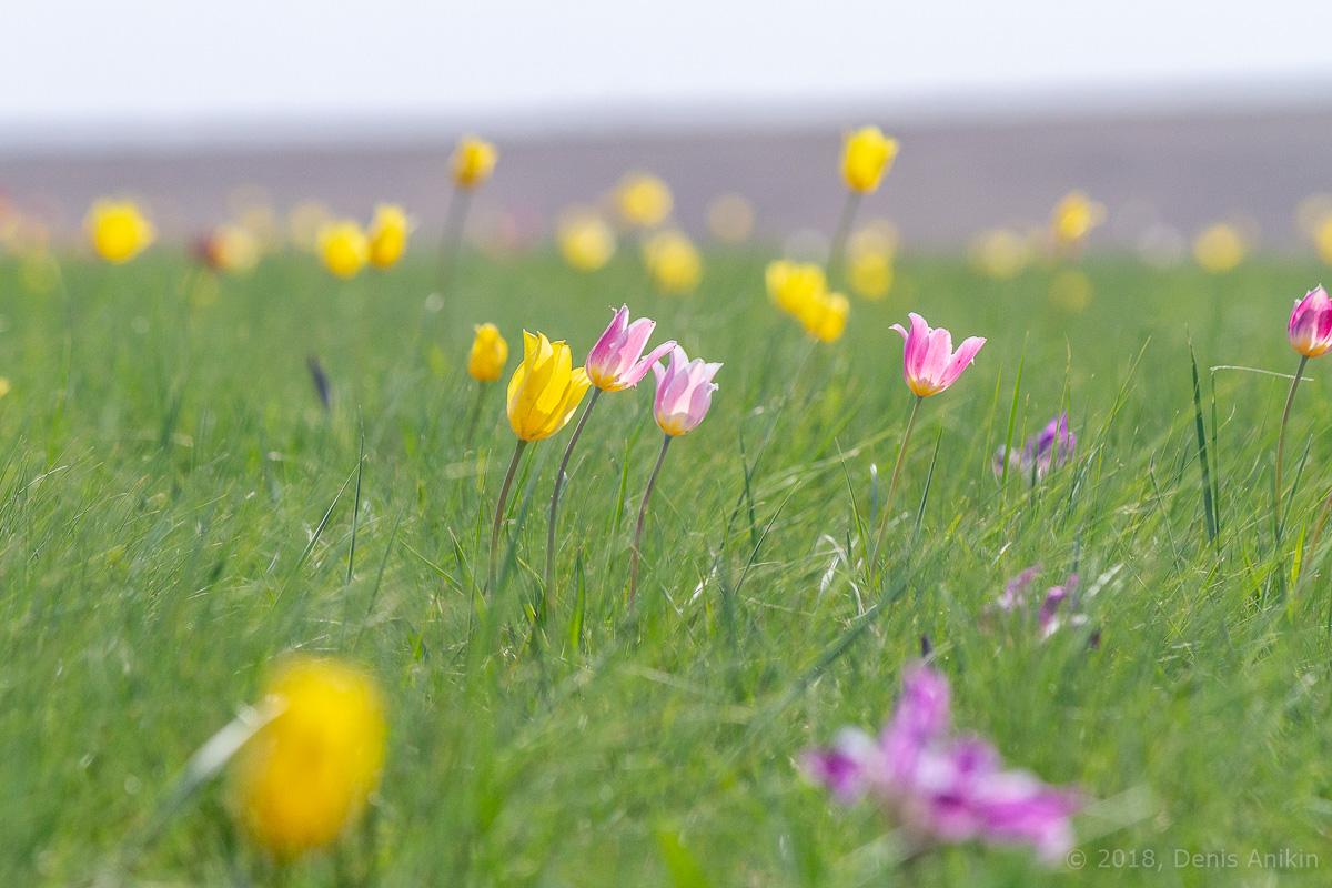 тюльпаны иваново поле фото 18